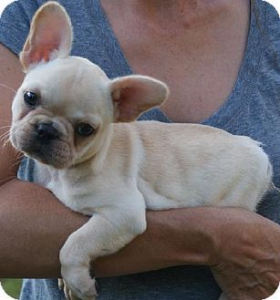Flanders Nj French Bulldog Meet Fiona Fabulous A Puppy For
