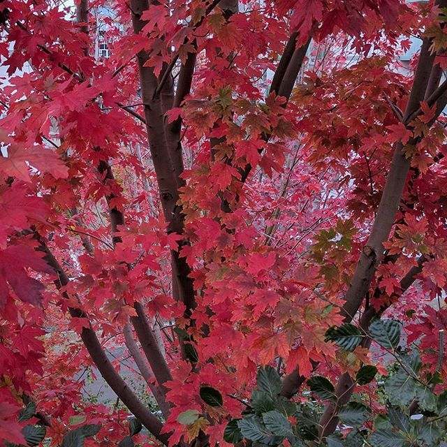 Red autumn leaves #red #redleaves #autumn #autumncolors #tree #nature #natur #csfotodk