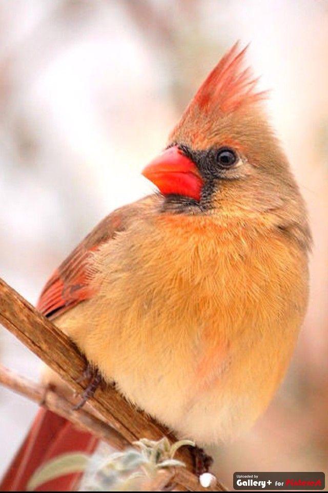 Female Cardinal Northern Cardinal Is The State Bird Of Illinois Cardinal Birds Beautiful Birds Cardinal Birds Meaning