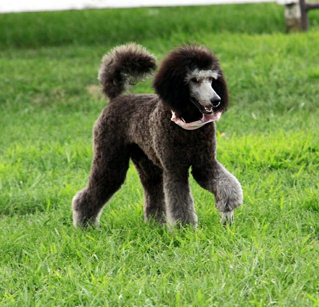 Willow Poodle Standard Poodle Dog Life