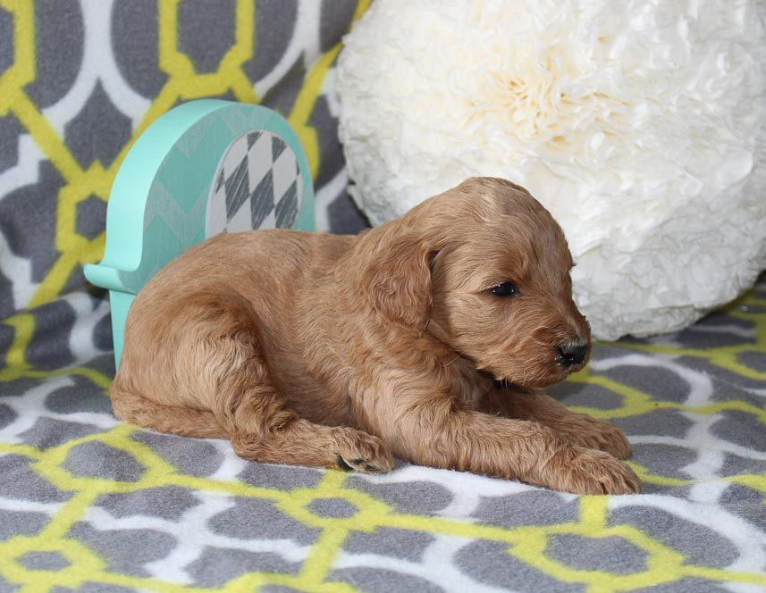 Jasmine A Female Aca Goldendoodle Puppy For Sale In Goshen Indiana Find Cute Goldendoodle Puppies Goldendoodle Puppy For Sale Puppy Litter Puppies For Sale