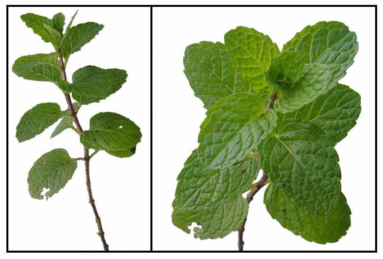 Yerba Buena Medicinal Plants Herbal Therapy Yerba
