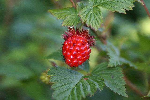 Salmonberry Fruit Photo Berries