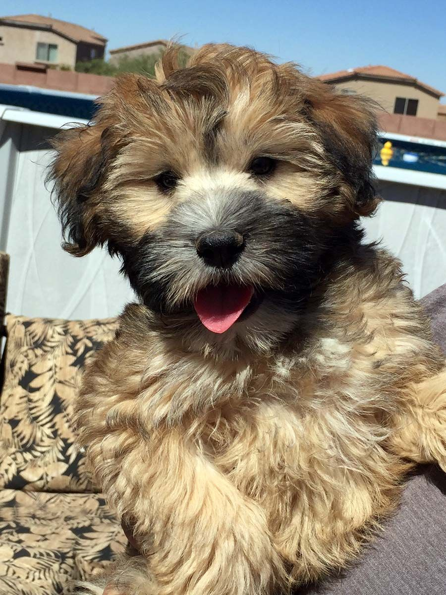 Mini Whoodle Full Grown Whoodle Dog Whoodle Puppy Wheaten