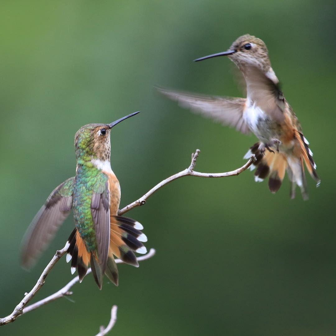 They are very aggressive. rufoushummingbird hummingbird