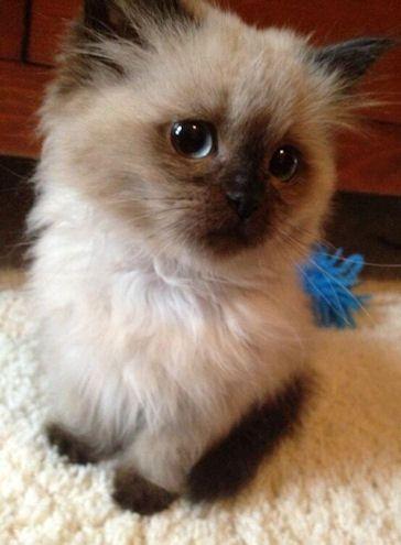 Cute Fluffy Burmese Kitten Cute Baby Animals Kittens Cutest Cute Animals