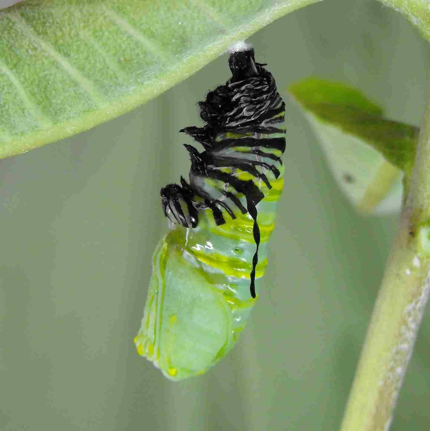 Chrysalis formation to butterfly emergence via indepth