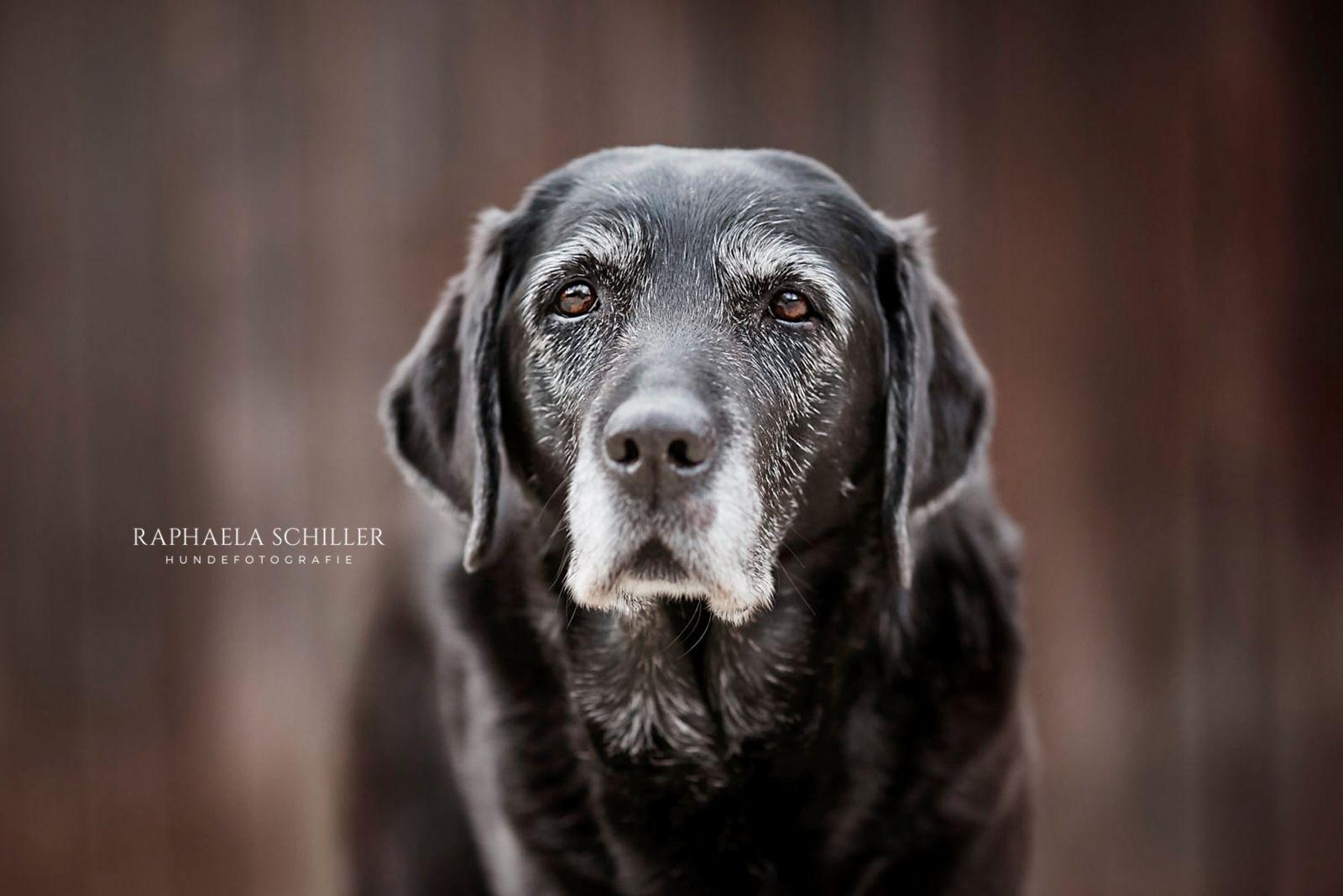 Hundefotografie Dog Photography Hundefotografie Labrador Retrievers Labrador Retriever Hund