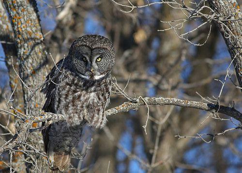 Great Gray Owl...#18