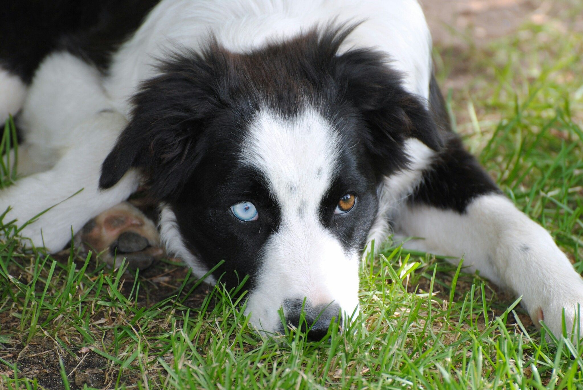 Collie Husky Mix Can Someone Please Get Me This Collie Mix
