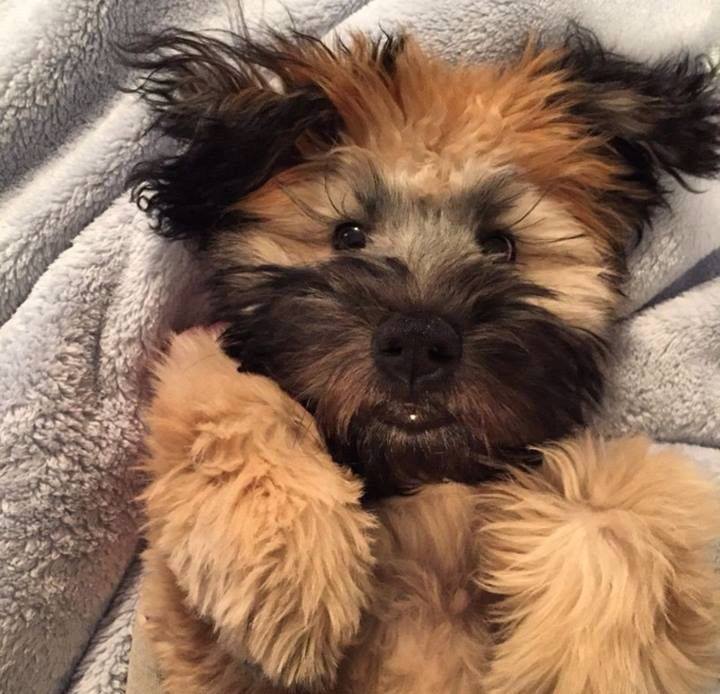 Love The Pouty Lip Wheaten Terrier Puppy Wheaton Terrier Puppies