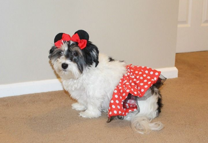 Diy Minnie Mouse Dog Costume Tutorial Pet Halloween Costumes