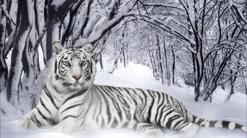 Imagenes De Tigres Blancos En Hd Para Fondos De Pantalla Fotos O Imagenes Portadas Para Facebook White Tiger Tiger Wallpaper Animal Spirit Guide Wallpaper full hd bengala wallpaper