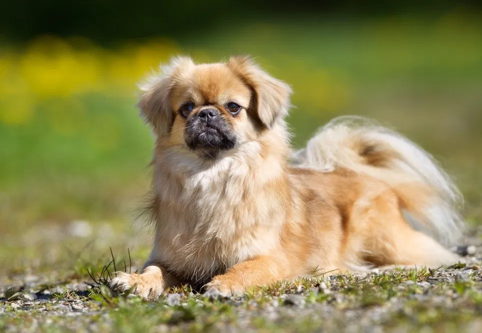10 Things You Didn T Know About The Tibetan Spaniel 2020 Kopek