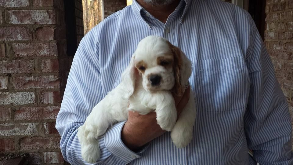 Ch Javalin S The Vin Fiz Flyer Called Fizz As A Puppy 3 Pet Dogs Puppies Spaniel Puppies Puppies