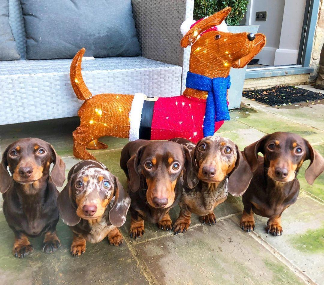 Christmas Sausage Dog Christmas Dachshunds Christmas Doxies Christmas Doxie Dogs Christmas Weiner Dogs Christmas Hot In 2020 Dachshund Christmas Dog Gifts Dog Antlers