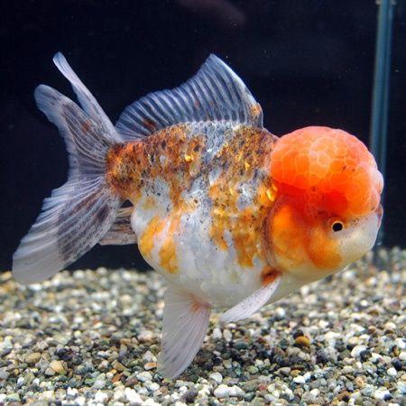 Oranda Goldfish Oranda Goldfish Tumblr Goldfish Betta Koi Arowana Oranda Goldfish Goldfish Goldfish Species