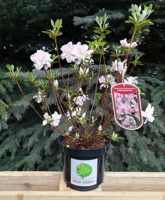 Azalia Japonska Eliza Hyatt Rhododendron Obtusum Sprawdz Ceny Sadzonki W Krzewyozdobne Net Rhododendron Azalia Plants