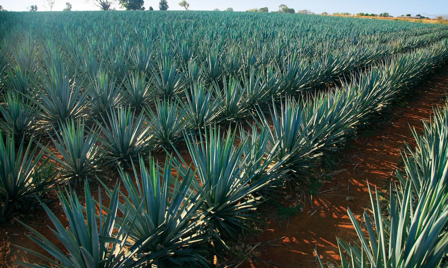 Agave fields Tequila, Mexico | Agave | Mexico, Tequila ...