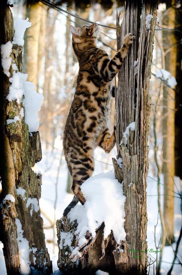 Bengal Cat Bengal Katzchen Katzen Wilde Katzen