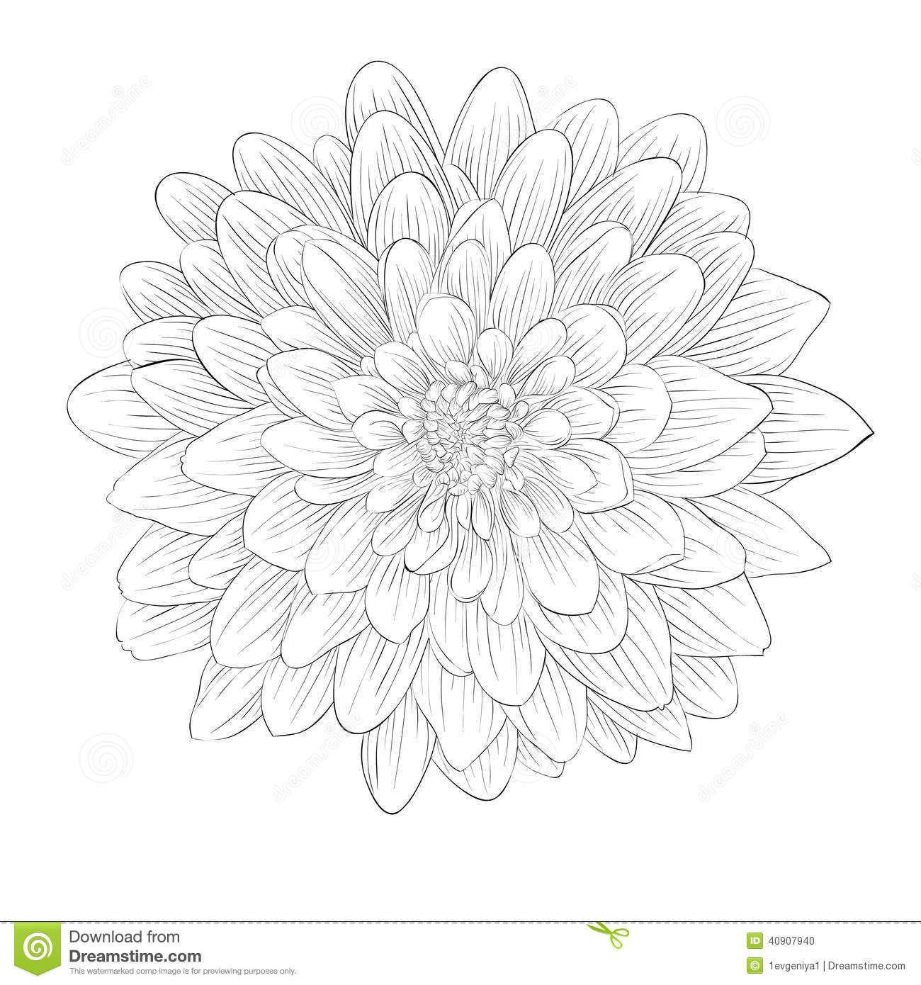 Beautiful monochrome black and white dahlia flower isolated on dahlia in 2018 pinterest - Dahlia dessin ...