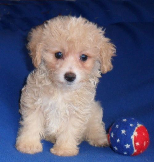 Maltipoo Puppy For In Ohio