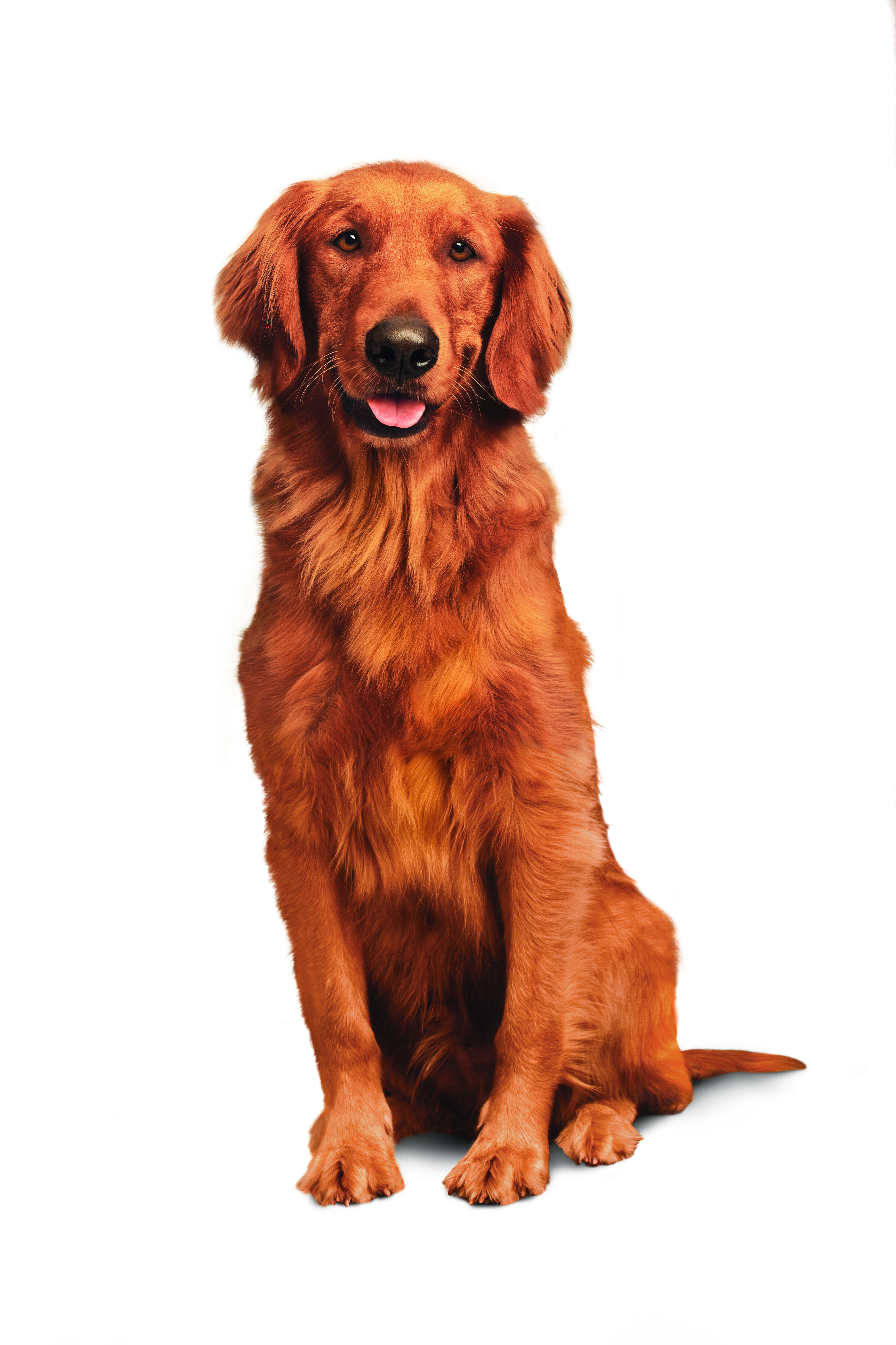 That Face We Love Jay S Trusty Golden Retriever Duke Golden