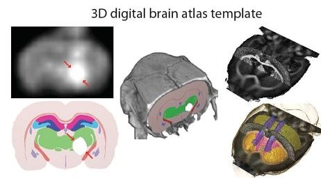 Hjerneatlas (Foto: T. B. Leergaard, J.G. Bjaalie, NeSys-gruppen, UiO.)