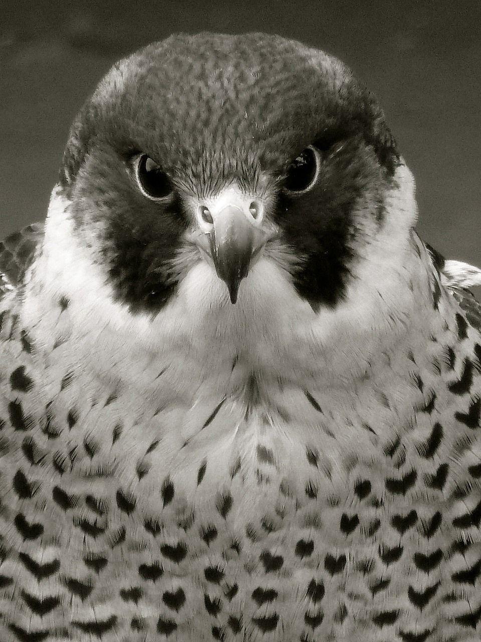 imagem gratis no pixabay falcão peregrino raptor falcão