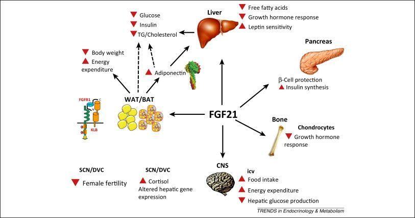 pierdere in greutate fgf21