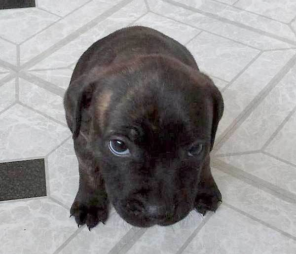 Cute Staffy Pups For Sale Staffordshire Bull Terrier Puppies