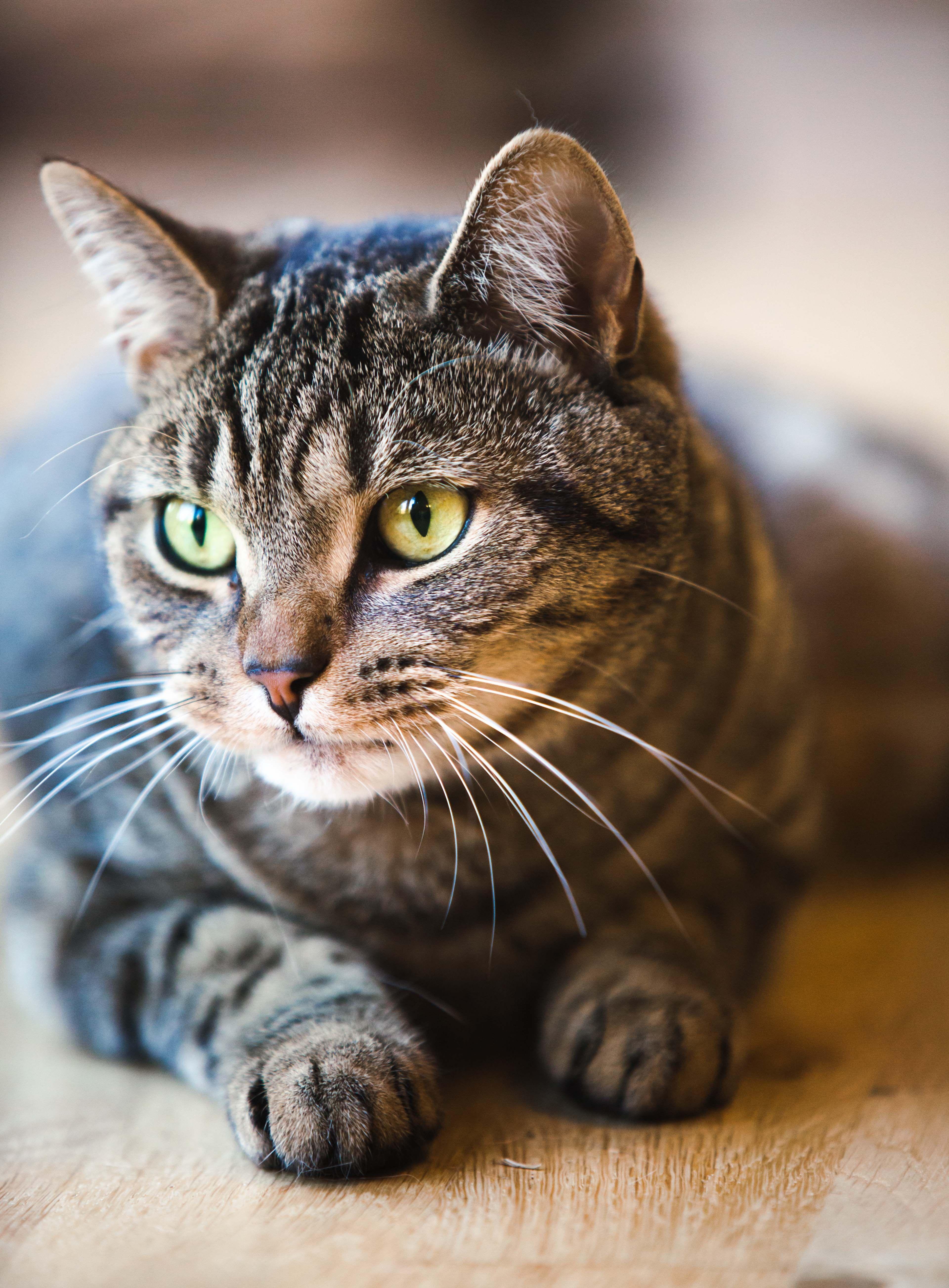 Dark Gray Tabby Grey Tabby Cats Cats And Kittens Cute Cats