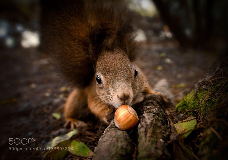Squirrel - Pinned by Mak Khalaf Squirrel going for nut Animals animalanimalscrittercuteeyesnutsquirreltreewidewildlife by AndrejTrnkoczy