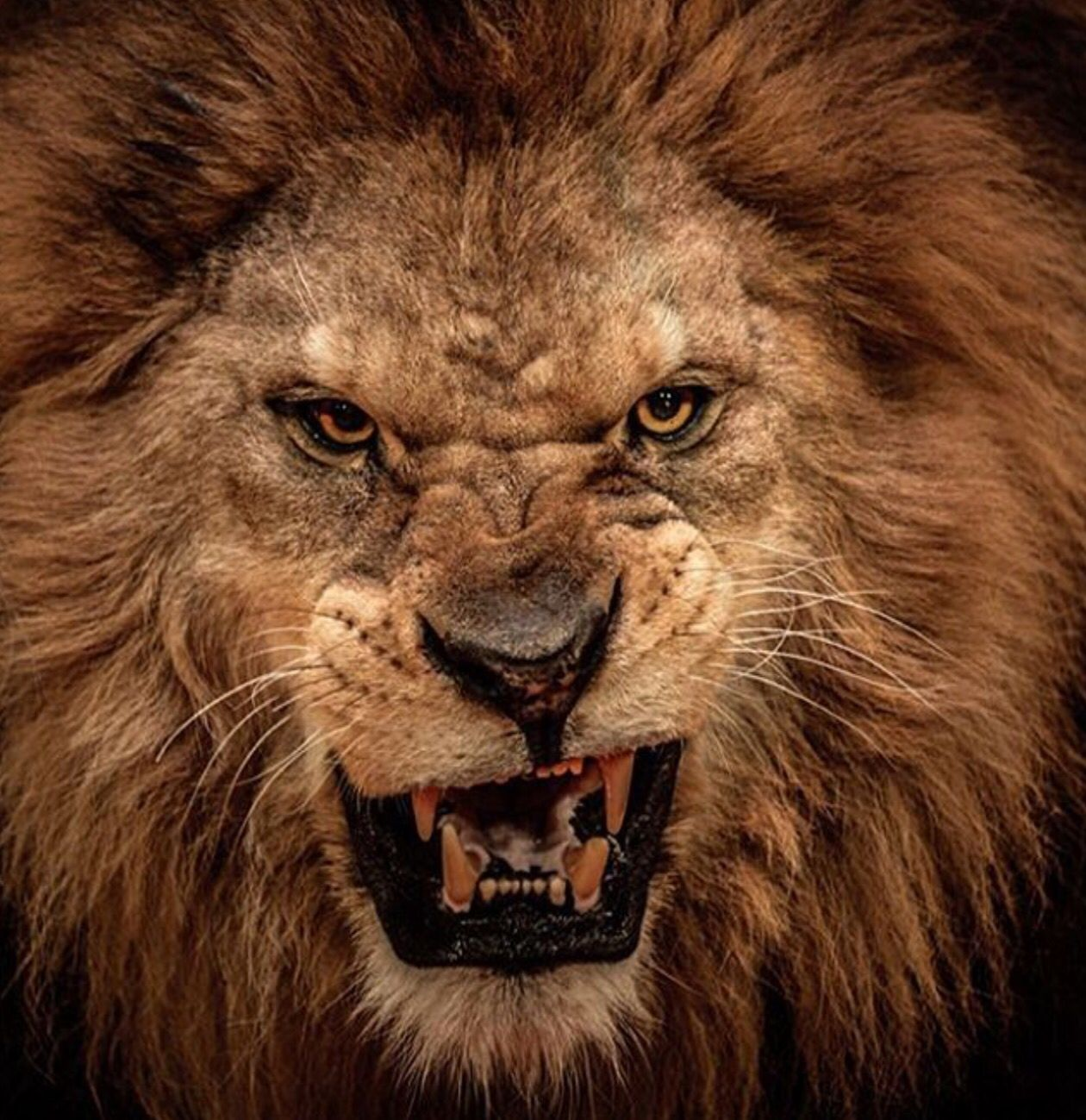 Pin By Soren Huhs On Tattoo S Lion Lion Poster Lions