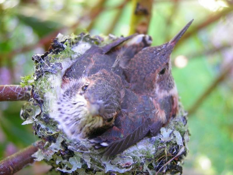 The Baby Hummingbird. Captured in photos. Miracles of