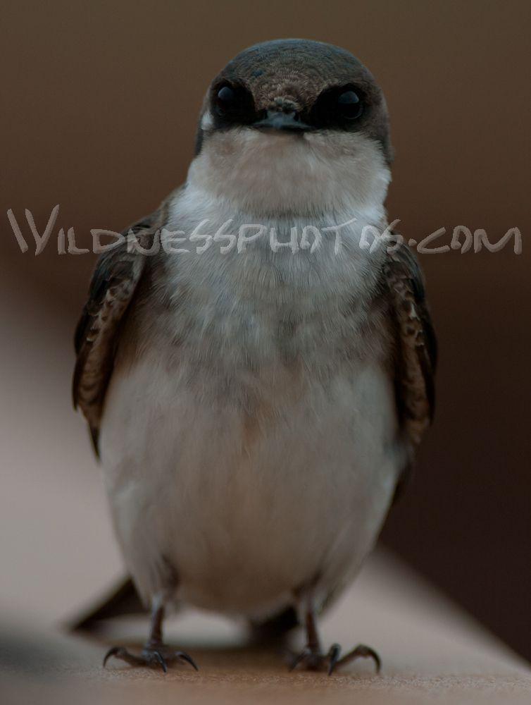Female Tree Swallow 2