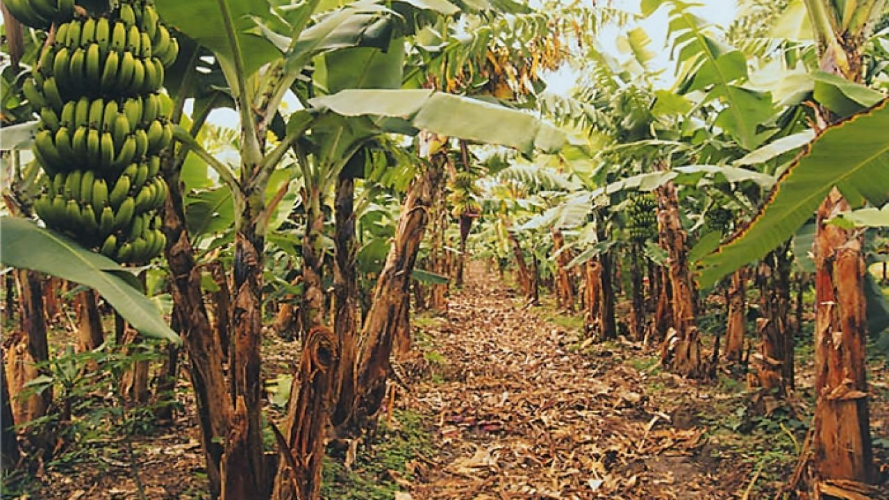 كيف تزرع الموز How To Grow Bananas Plant Leaves Agriculture