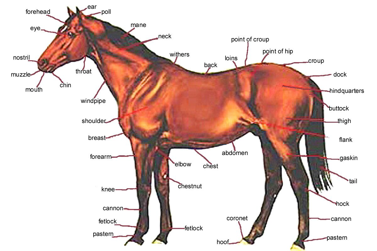 Image Result For Horse Anatomy Horse Anatomy Horses Horse Pictures To Print [ 800 x 1200 Pixel ]