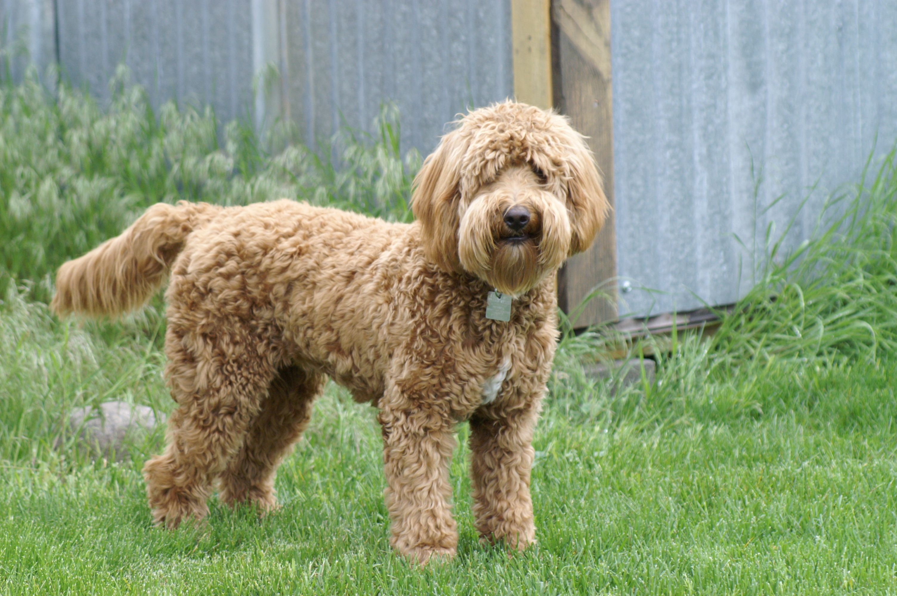 Mini Goldendoodles 20 35 Pounds Full Grown 3 Minigoldendoodle