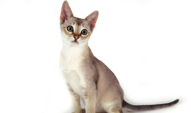 Singapura Cat Breed Information Singapura Cat Cat Breeds Siamese Cats