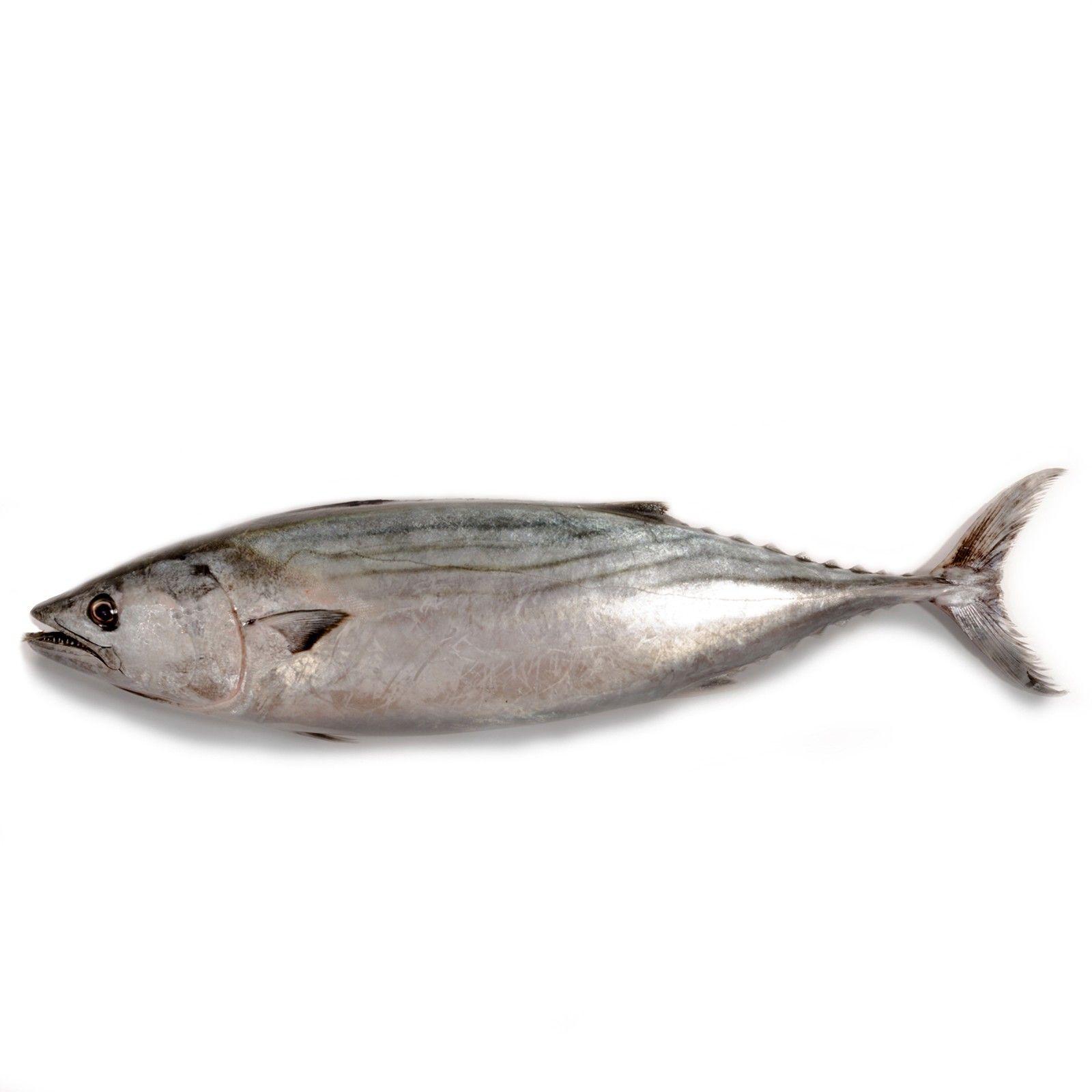 Bonito Del Atlantico Frescas Para Comprar Online Tulonja Com Pescados Y Mariscos A Coruña Bonito