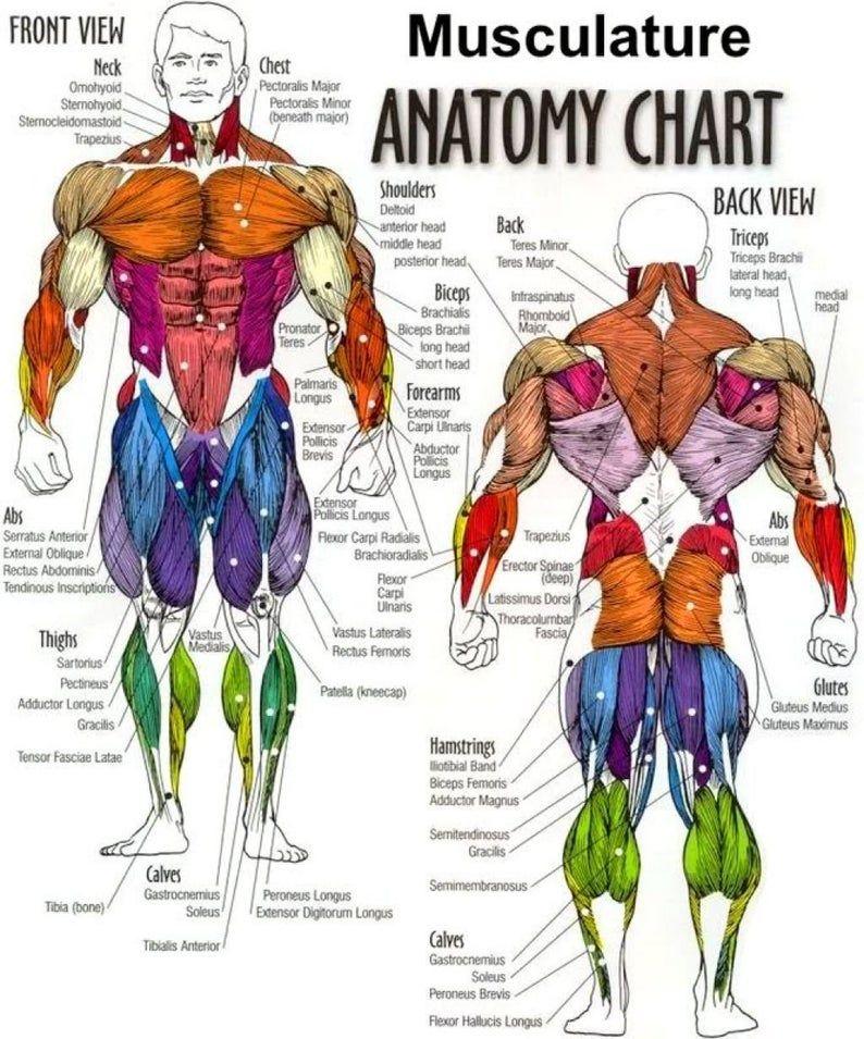 24+ Body Muscle Anatomy Chart  Human Anatomy Body poster   Etsy