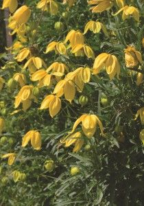 He describes clematis kaka as a compact climbing vine with he describes clematis kaka as a compact climbing vine with bright yellow flowers with a very long flowering time from the end of may until october mightylinksfo Image collections