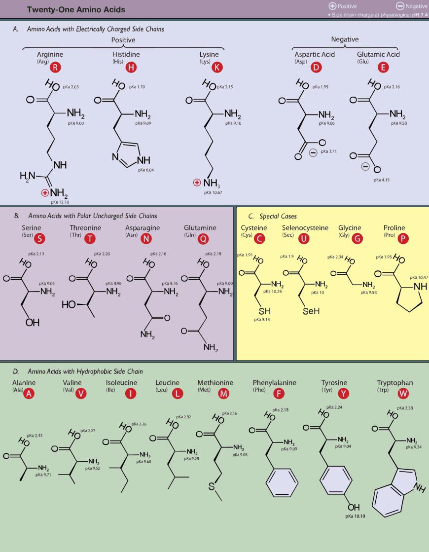 Image proteogenic amino acids also concepts of biochemistry rh pinterest