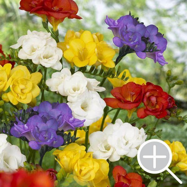 How To Grow Freesias Flower Garden Design Beautiful Flowers Garden Plant Images