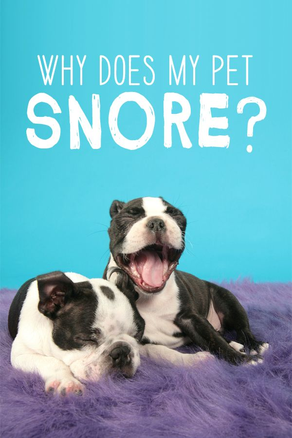 Why Does My Pet Snore Veterinary Medicine At Illinois Puppy