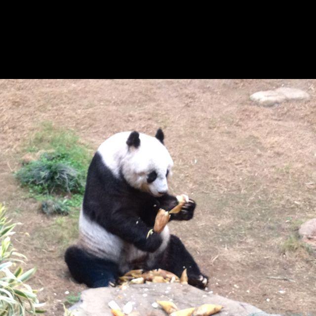 Panda in Hong Kong