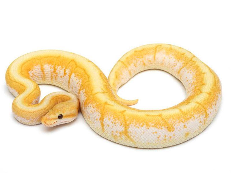 Rainbow Banana - Lista Morph - Mundial de pitones bola   SERPIENTES ...