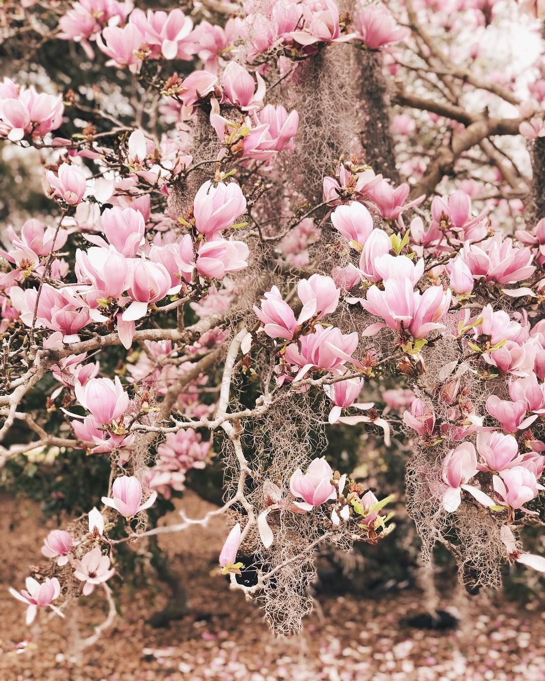 I Love When The Japanese Magnolia Bloom This Time Of Year We Have A Huge Tree Just Outside Of Our Breakfast Nook Wi Japanese Magnolia Love Flowers Love Garden