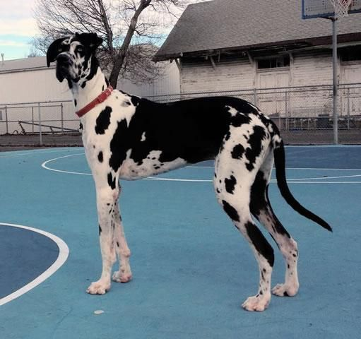 Meet Shaq A Petfinder Adoptable Great Dane Dog Boonton Nj